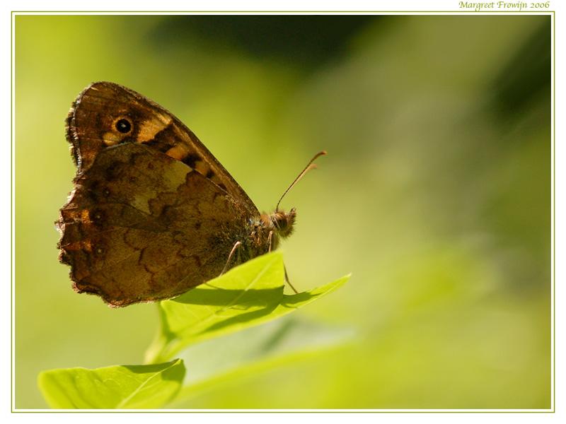 bont zandoogje, vlinder, vlinders, vlinderwallpaper, free wallpaper, wallpapers, gratis achtergrond, achtergronden